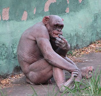 hairless_chimp